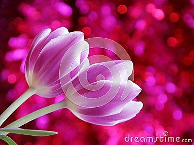 Tulip Flower Valentines Day Card - Stock Photo