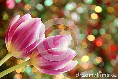 Tulip Flower  Wallpaper - Easter Card Stock Photo
