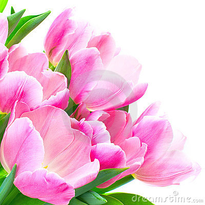 tulip flowers royalty free stock image  image, Beautiful flower