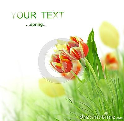 Free Tulip Flowers Stock Photos - 17925493