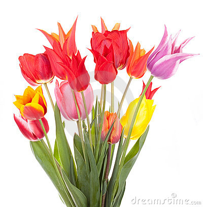 Free Tulip Flowers Royalty Free Stock Image - 19457846