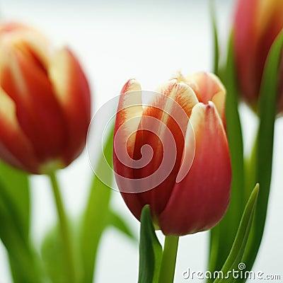Free Tulip Flowers. Royalty Free Stock Photo - 2431455