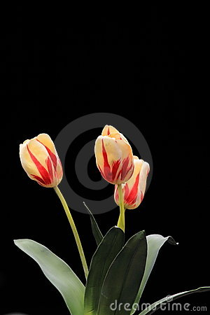 Tulip flowers copy space