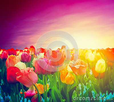 Free Tulip Flowers Field, Sunset Sky. Artistic Mood Royalty Free Stock Photography - 30199307