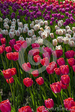 Free Tulip Flowers Garden In Spring Background Or Pattern Stock Photography - 88554982