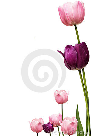 Free Tulip Fram Royalty Free Stock Images - 12337099