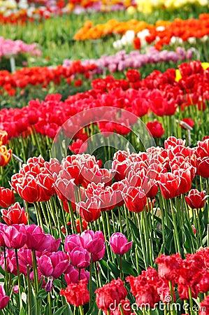 Free Tulip Garden Stock Photo - 29944110