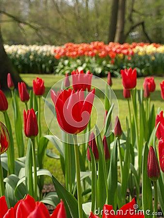 Tulip in holland