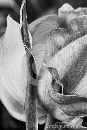 Free Tulip In Black And White Stock Image - 106044571
