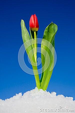 Free Tulip In The Snow Stock Photo - 3793140