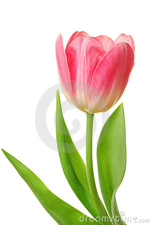 Tulip isolated [clipping path]