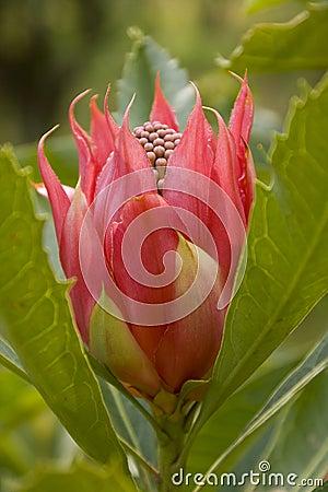 Tulip like Waratah