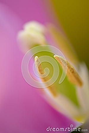 Free Tulip Macro Royalty Free Stock Images - 29480029