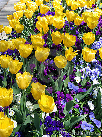 Tulip and Pansy Garden