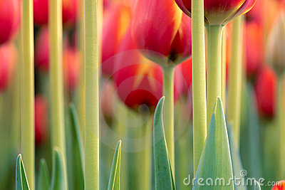 Tulip peduncle