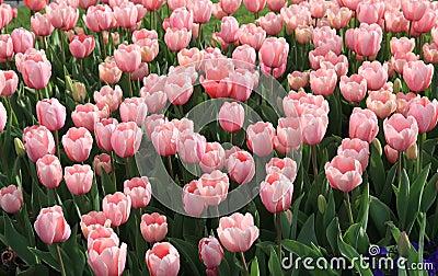 Tulip period in istanbul