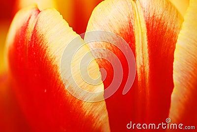 The tulip petals