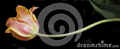 Tulip profile
