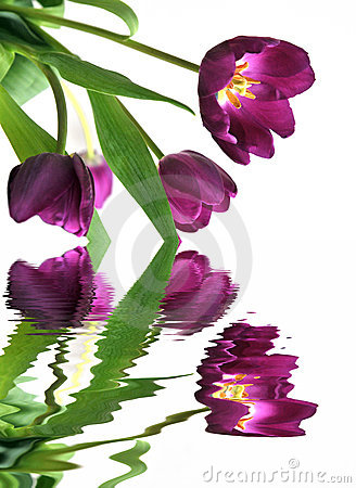 Free Tulip Reflections Royalty Free Stock Photo - 4603795