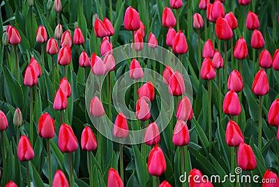 Tulip show