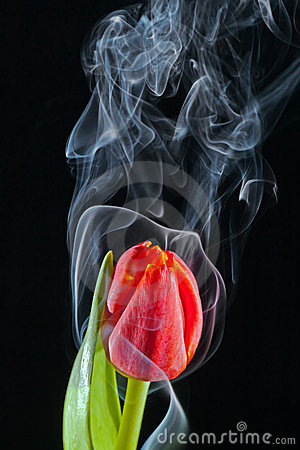 Tulip with smoke