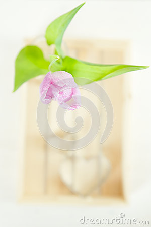 Tulip  Spring flower above wooden box