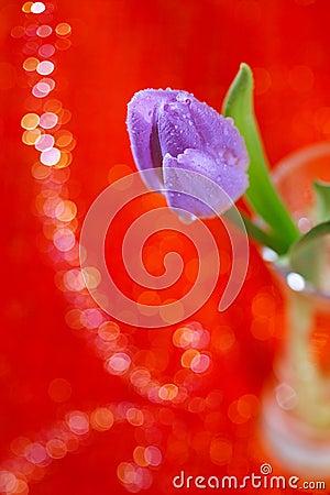 Tulip  Spring flower in glass