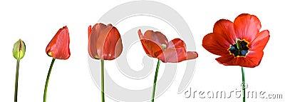 Tulip stages