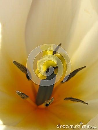Tulip stamen macro