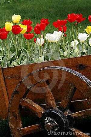 Tulip by the wooden cask