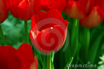 Tulipa Hollandia Triumph Tulip