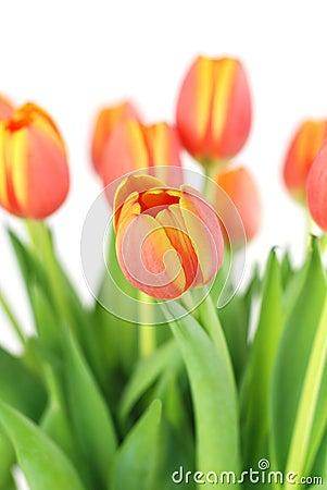 Tulipanes anaranjados