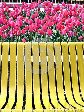 Tulipanes rojos y banco amarillo