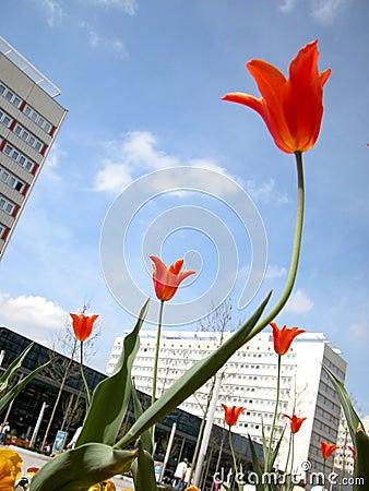 Tulipanes y edificios