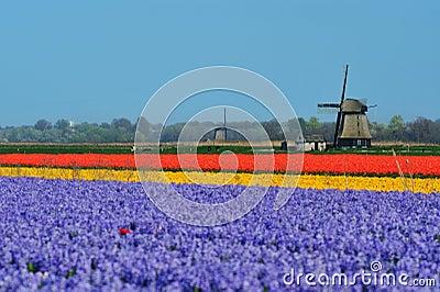 Tulipanes y molino de viento