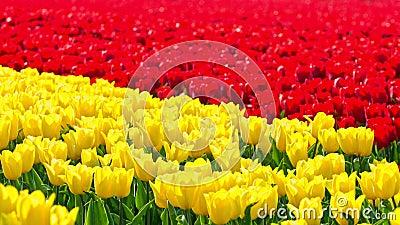 Tulipani nel commercio stock footage