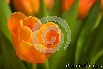 Tulipano arancione