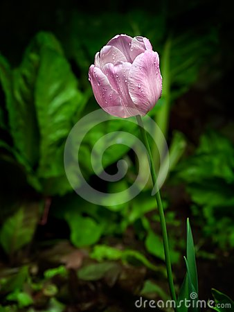 Tulipano bagnato