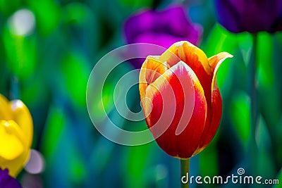 Tulipano rosso e giallo in un campo di colore fotografia for Oggetti di colore giallo