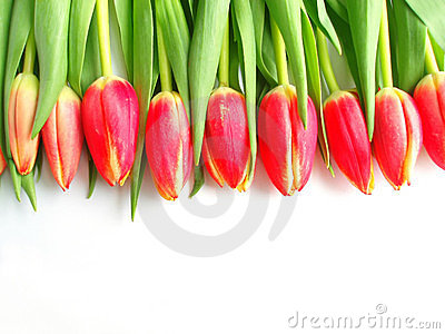Tulipany kolorowe czerwone
