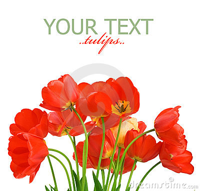 Free Tulips Stock Photography - 12283352