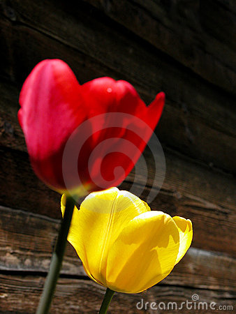 Free Tulips Stock Image - 161991