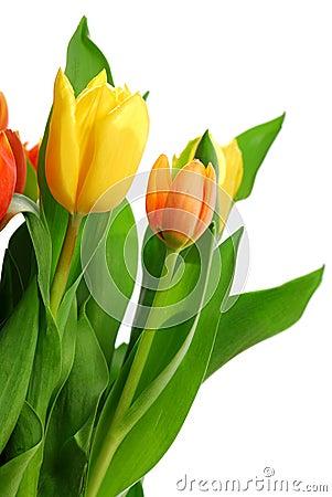 Free Tulips Royalty Free Stock Photo - 2169045