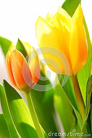 Free Tulips Royalty Free Stock Image - 2169046