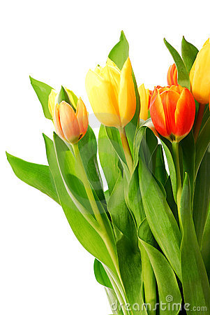 Free Tulips Royalty Free Stock Images - 3050149