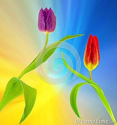 Free Tulips Stock Photos - 52284903