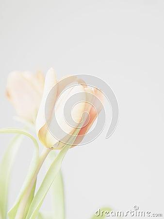 Free Tulips Royalty Free Stock Photo - 67526095