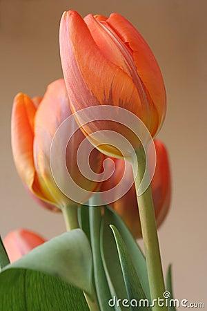 Free Tulips Stock Photography - 746342