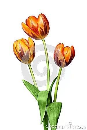 Free Tulips Royalty Free Stock Photo - 8982475