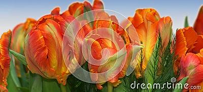 Tulips against a blue sky